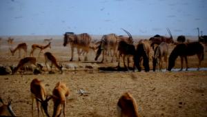 i piccoli struzzi del Kalahari (1)