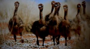 i piccoli struzzi del Kalahari (4)