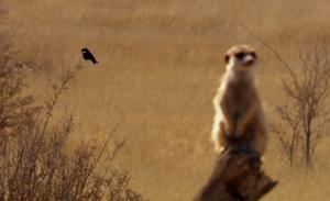i suricati (2)